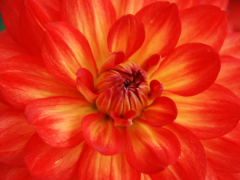 Highlighted image: Dahlia