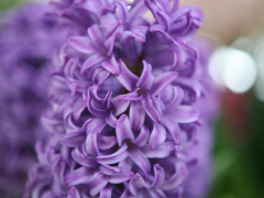 Highlighted image: Hyacinth